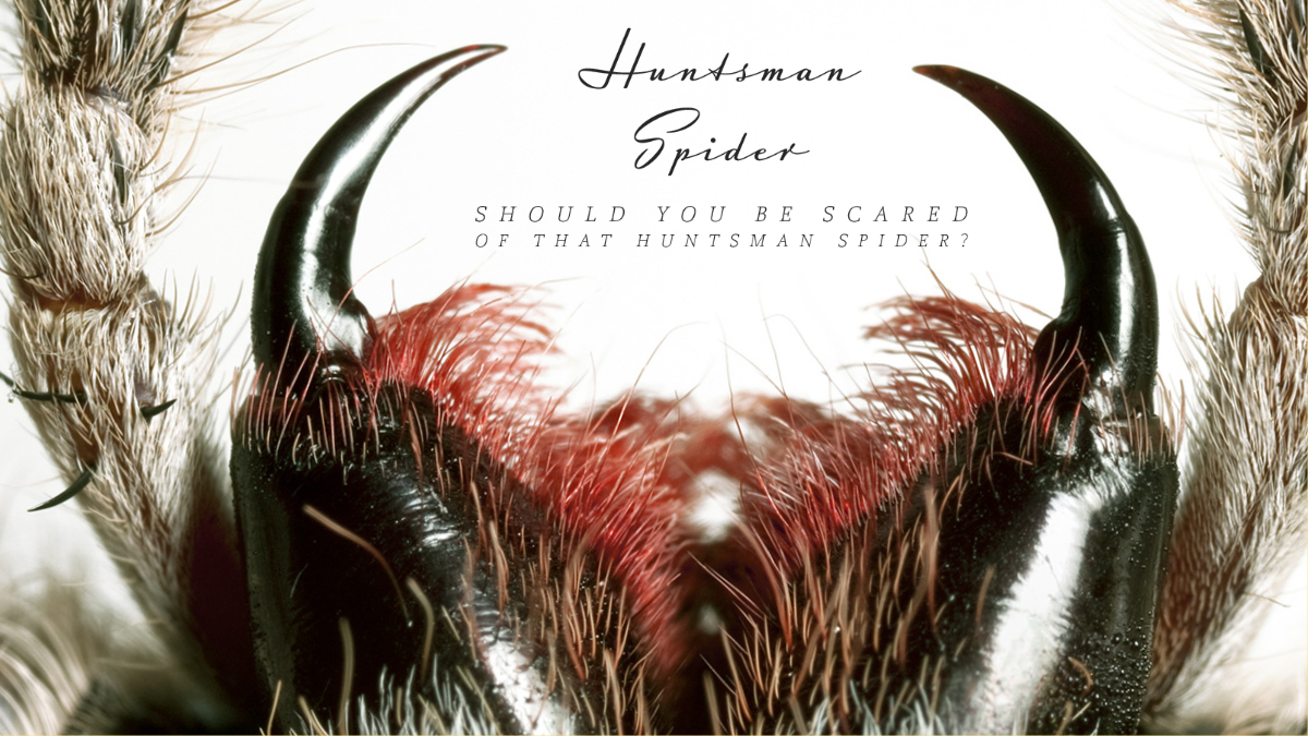 Should you be scared of that Huntsman spider?